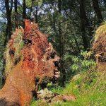 Akar Pohon Unik  Dekat Telaga Warna Dieng